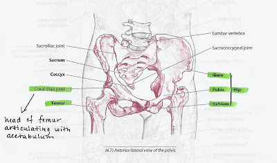 Anatomy Lesson: The Hip Joint