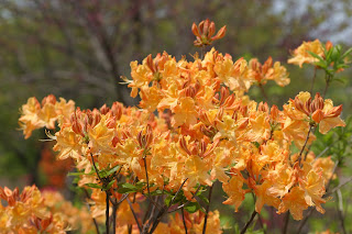 Golden Lights Azalea Is Well Named Variety With A Great Scent Too. Here It  Is Growing In Almost Full Sun On The North Edge Of The Rock U0026 Waterfall  Garden.