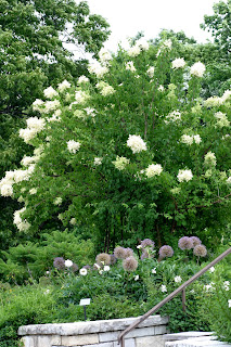 Powell gardens blog exquisite white flowers exclusively at powell syringa pekinensis china snow is in full bloom at the entrance to the perennial garden in the fragrance beds this tree has fragrant white flowers mightylinksfo
