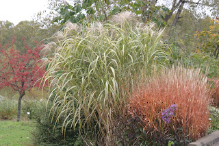 Attractive Grasses Are A Mainstay Of Local Autumn Gardens And Here Huge U0027Guilded Toweru0027  Giant Miscanthus (Miscanthus X Giganteus) Stands Left Of Lovely U0027Autumn  Redu0027 ...