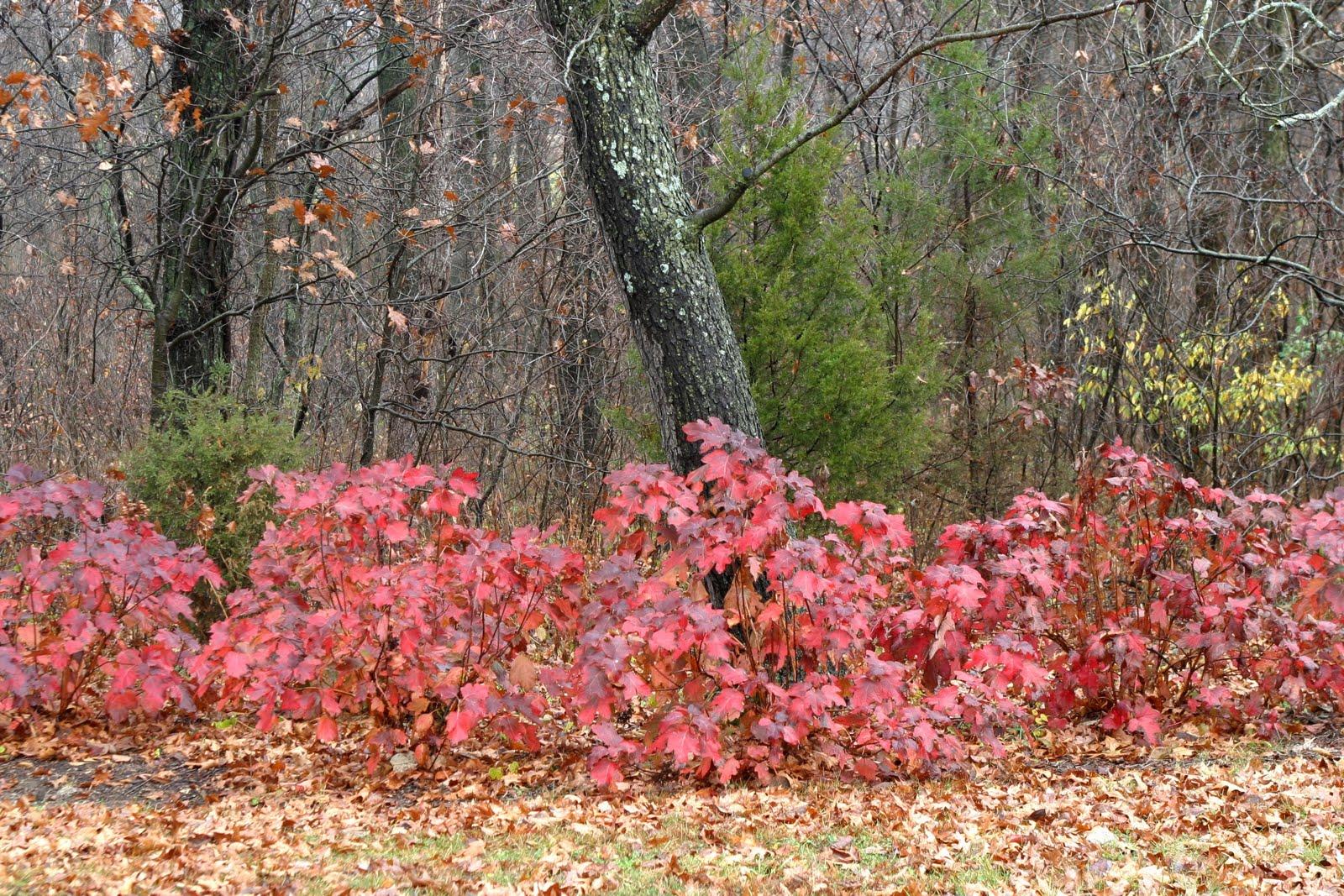 The masses of Oakleaf Hydrangeas   Hydrangea quercifolia   along the    Oakleaf Hydrangea Fall Color
