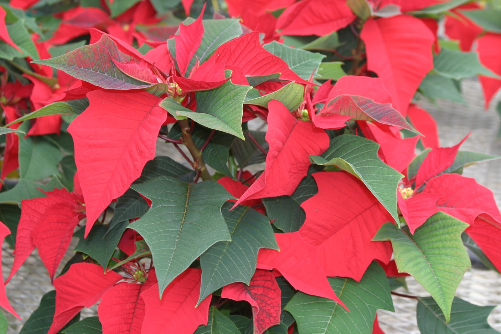 or red poinsettia - photo #41