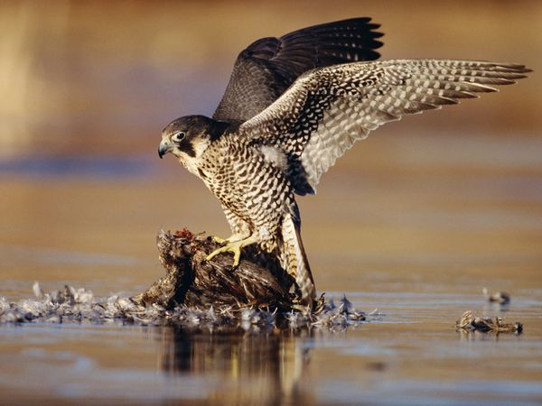 falcons wallpaper. Peregrine Falcon Wallpapers
