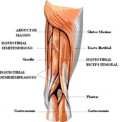 grupo muscular anatomia: