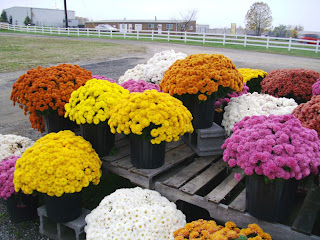 chrysanthemums from Miller Farms nursery