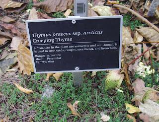 creeping thyme again