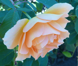 another orange tinged rose