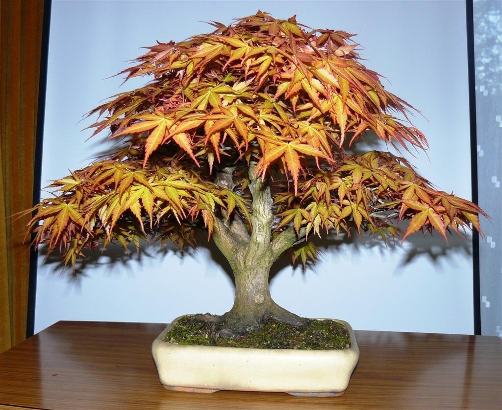 Wirral Bonsai Society Tree Of The Month April