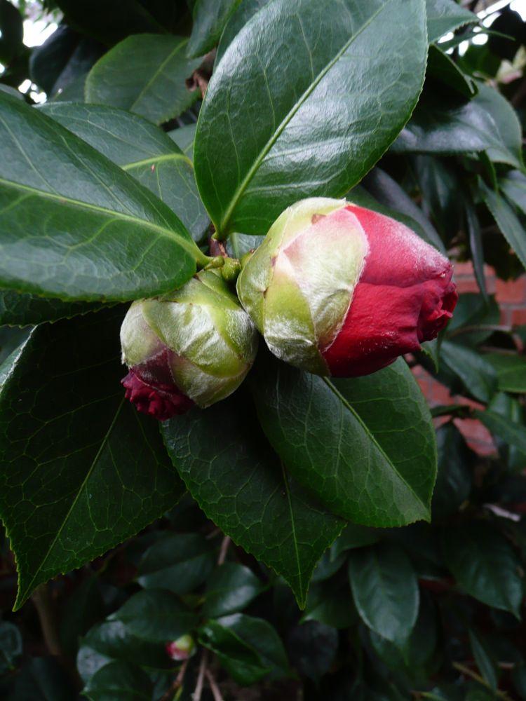 [Camellia+reticulata+Hybride+]