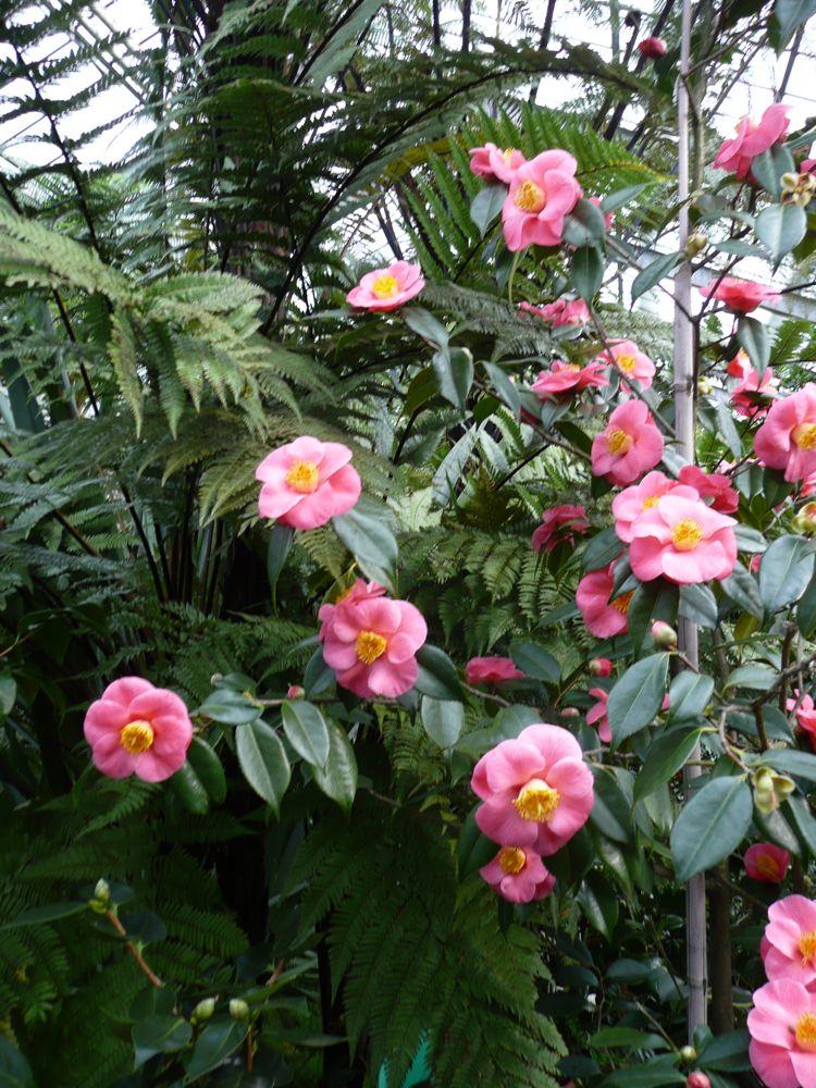 [Camellia+Hybride+]