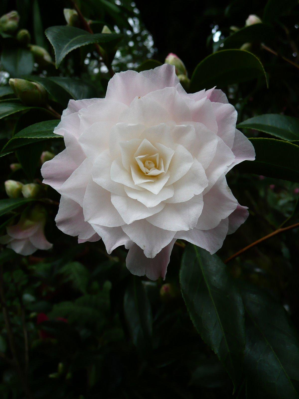 [Camellia+x+williamsii+]