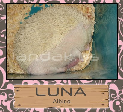 landak albino