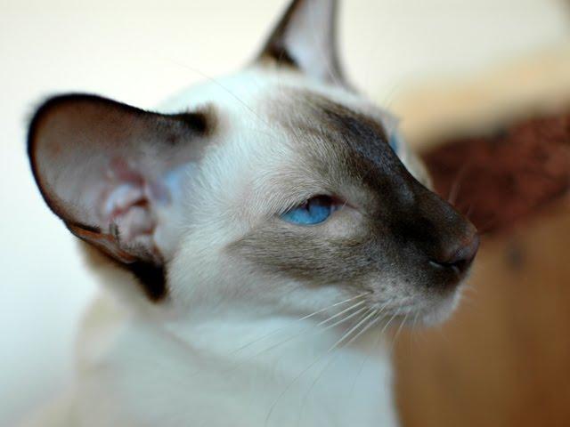 Kot syjamski nowego typu
