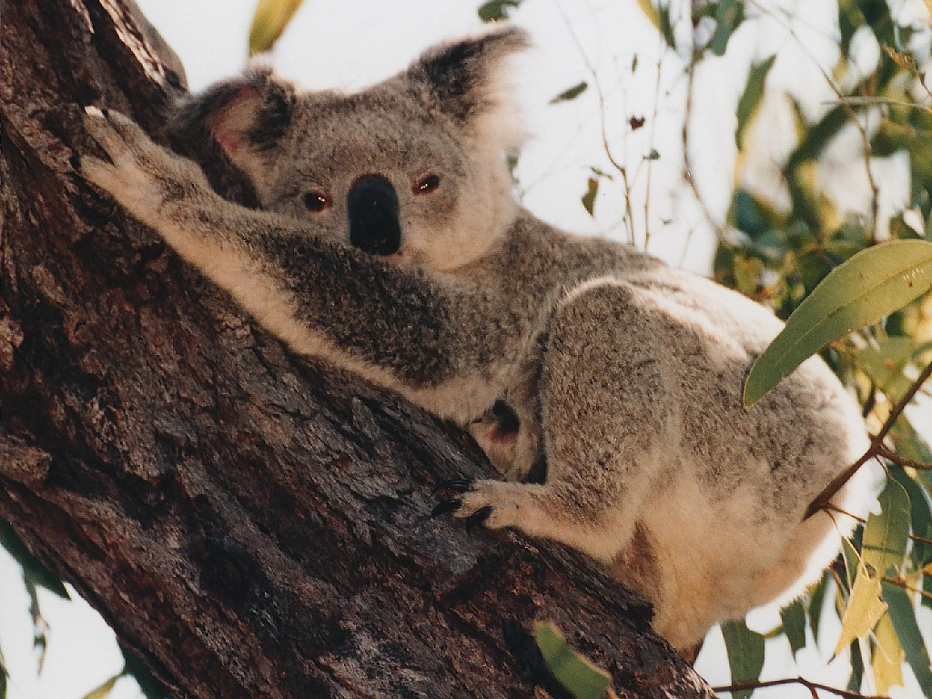 El Koala Australiano nunca Q Come El Koala