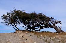 Árbol centenario azotado por viento (bandera)