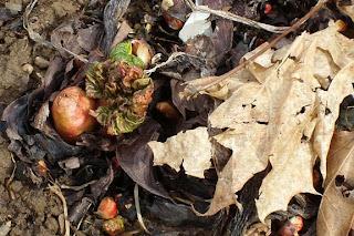 Rheum rhabarbarum, common name Rhubarb