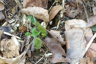 Foeniculum vulgare- common name Bronze Fennel