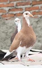 Cara Merawat dan Ciri-ciri Burung Merpati Tinggian yang