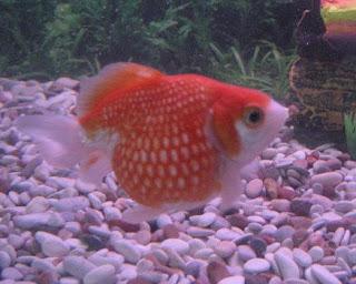 Aquarium: Budidaya Ikan Mas Koki Mutiara