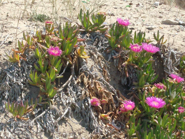 MY PHOTO: FLOWERS OF MY BEACH
