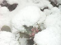 雪をかぶったフユイチゴ