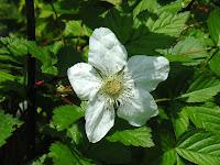 トヨラクサイチゴ花