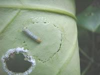 キジョラン上のアサギマダラの幼虫