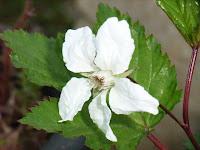 カジモミジの花