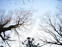 ケヤキの大木たち