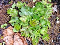 小さい葉のカジモミジ