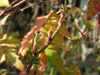 ヒメバライチゴ冬芽