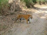 Tiger, Jaldapara