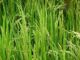 Di Kulonprogo : Ratusan Hektar Padi Terserang Ulat Hama Putih