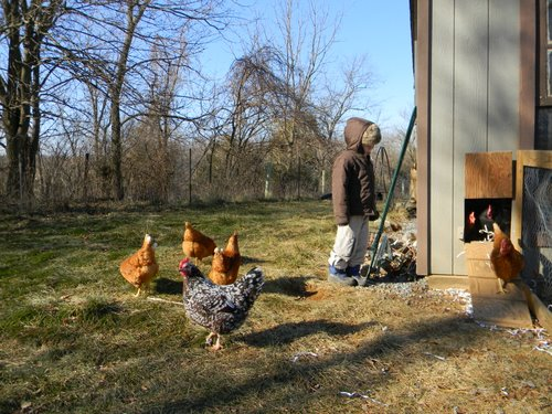 how to get chickens laying in winter