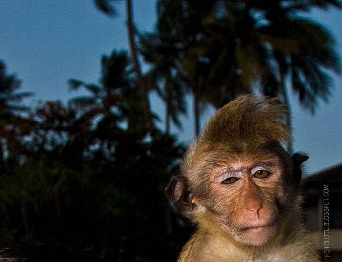 Monyet Lucu Gayanya Keren