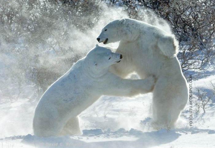 Beruang Lagi Tinju