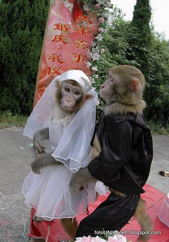 Monyet Ngebet Kawin Ketika Dinikahkan