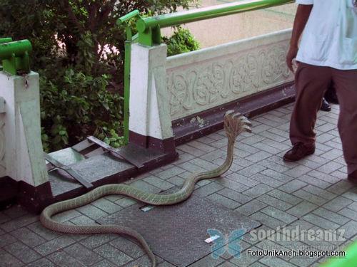 Ular Kobra Berkepala Lima Yang Sudah Diolah Fotonya