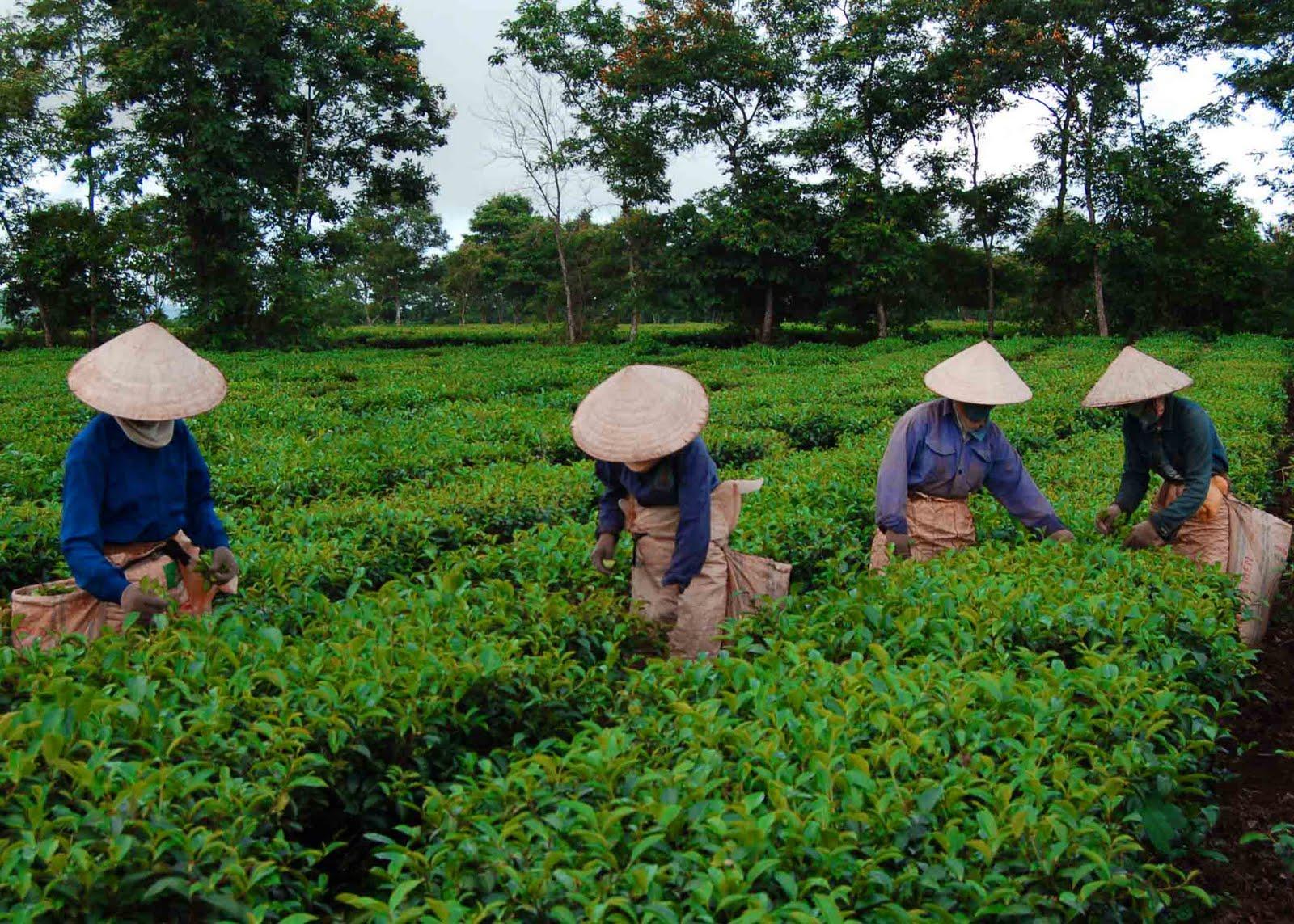 китайский зеленый чай для похудения