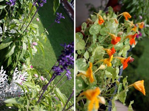 Balcony garden annuals