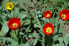 Tulips opened in only 4 days