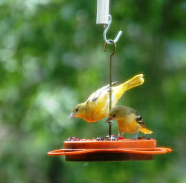 Orioles at our grape jelly feeder Jelly Birds