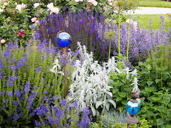 Salvia, jacobs ladder and  gazing balls in rose garden