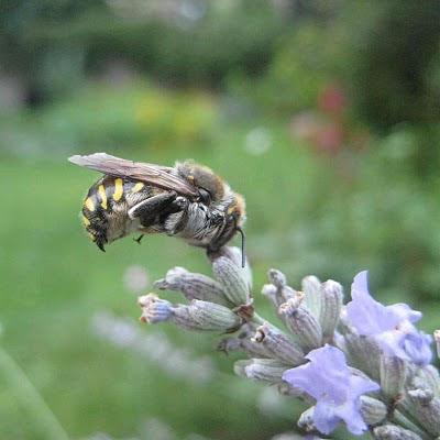 Chronique du jardin de la patrie abeille en suspens - Qu est ce qui fait fuir les abeilles ...