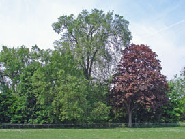 Dutch Elm, Ladywell Fields