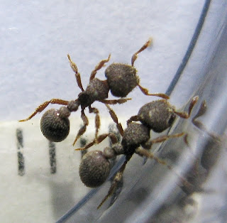Workers of Calyptomyrmex ant