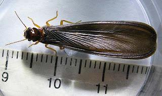 Alate of Macrotermes malacensis