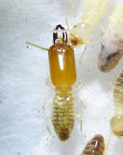 The soldier of a Microcerotermes serrula