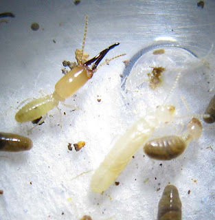 Procapritermes setiger subspecies 2 with reproductive nymph (larva) and workers