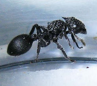 Cataulacus ant worker